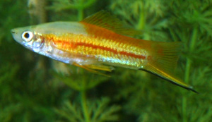 The Swordtail comes from Mexico and Guatemala