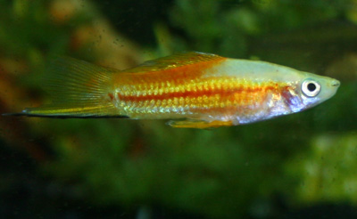 Swordtails are active fish and often chase other smaller fish