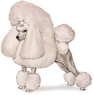 The Toy Poodle is 10 inches or under at the highest point of the shoulders.