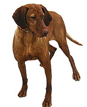 The Vizsla is a dog of power and drive in the field yet a tractable and affectionate companion in th