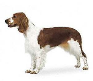 The welsh springer spaniel is a medium-sized short-coated hunting dog