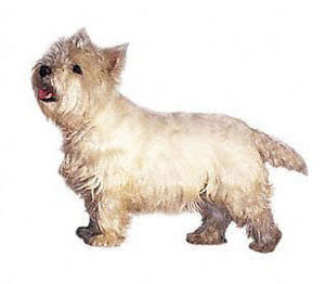 The West Highland White Terrier is a small, game, well-balanced hardy looking terrier