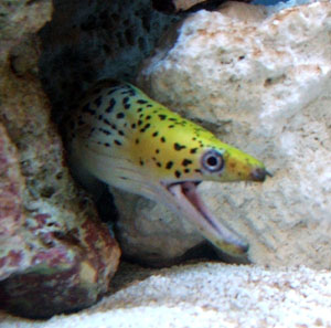 The Yellow Head Eel can be found in many parts of the Pacific Ocean