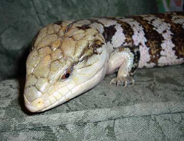 Blue_Tongue_Skink