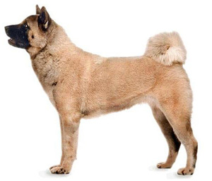 akita is a japanese breed
