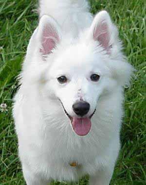 American_eskimo_dog_puppy
