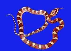 Corn Snake Variations | RM.