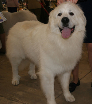 In nature, the Great Pyrenees is confident, gentle, and affectionate