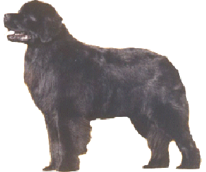 The Newfoundland is a sweet-dispositioned dog that acts neither dull nor ill-tempered
