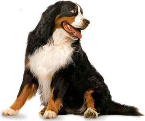 The Bernese Mountain Dog should stand steady, though may remain aloof to the attentions of strangers