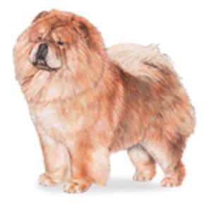 adult chow chow