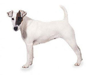 smooth_fox_terrier