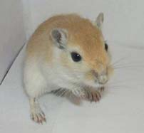 Gerbils make wonderful pets