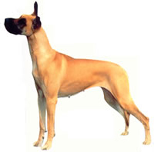 The Great Dane must be spirited, courageous, always friendly and dependable, and never timid or aggr