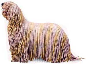 The Komondor is a flock guardian, not a herder