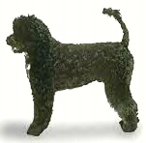 The Portuguese Water Dog is a swimmer and diver