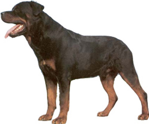 The Rottweiler is basically a calm, confident and courageous dog