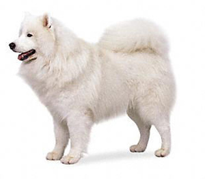 The Samoyed, being essentially is a working dog,