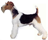 The Terrier should be alert, quick of movement, keen of expression, on the tip-toe of expectation at