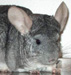 chinchilla thumbnail